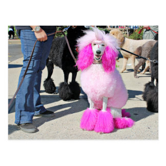 Poodle Day 2016 - Barnes - Pink Standard Poodle Postcard