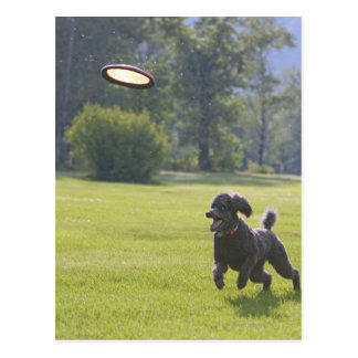 Poodle playing frisbee postcard