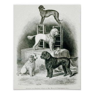 Poodles and Whippet - Group of Mr. Walton's Poster