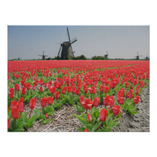 Popart Windmills Red Tulips Poster