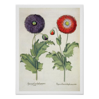 Poppies: 1.Papaver flore multiplici incarnato; 2.P Poster