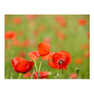 Poppies in a poppy field postcard