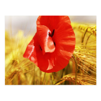 Poppies into the cornfield postcard