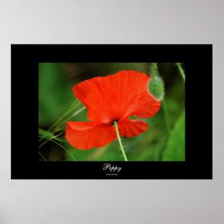 Poppy by Steven Dale Print