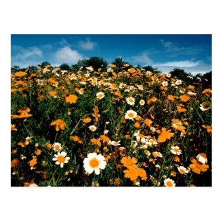 Poppy Festival California Postcard