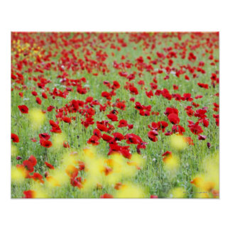 Poppy Field, Siena, Italy Poster