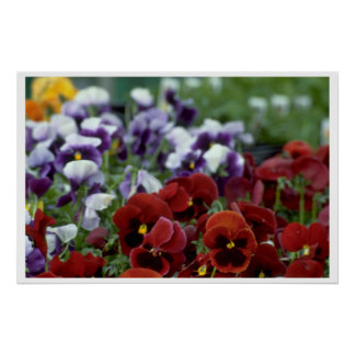 Poppy Flowers On The Ground Poster