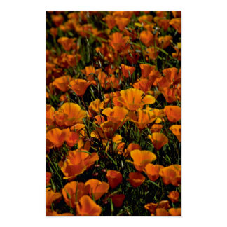 Poppy flowers Pink flowers Poster