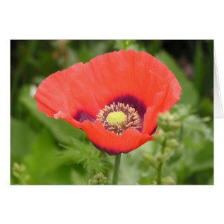 Poppy (Papaver somniferum) card