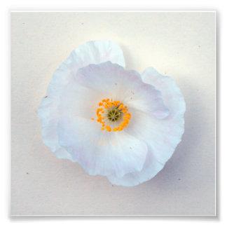 Poppy White Bloom Simple and Sweet Print Art Photo