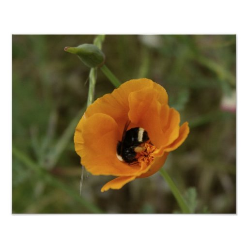 Poppy with bee poster