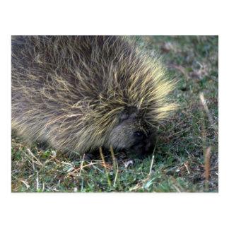 Porcupine Foraging Postcard