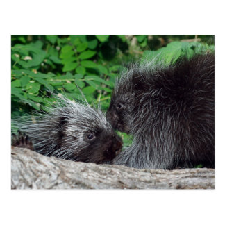 Porcupine - Mom and Baby Postcard