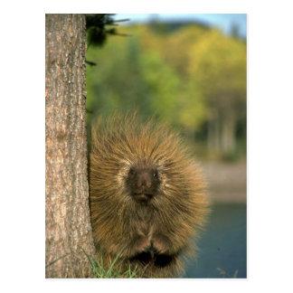 Porcupine Postcard
