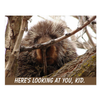 Porcupine Postcard | Here's Looking at You, Kid.