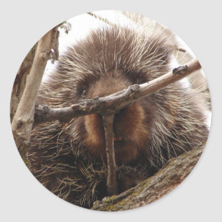 Porcupine Up a Tree Round Sticker | Photo