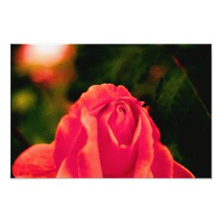 Portland Rose Art Photo