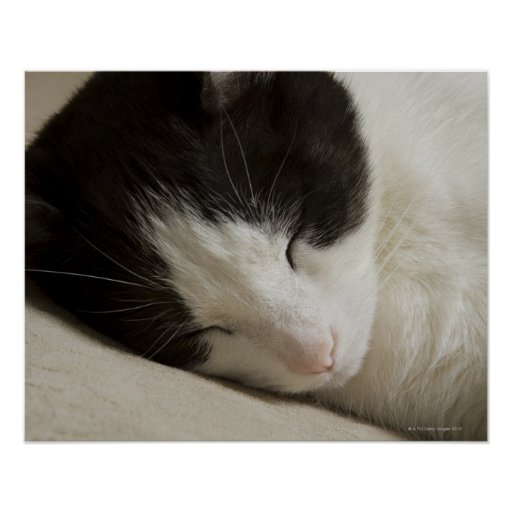 Portrait detail of a domestic cat sleeping poster