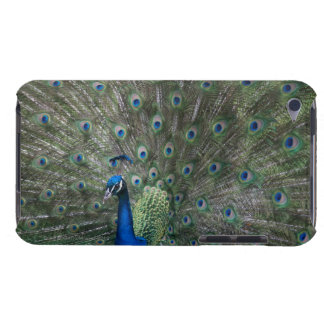 portrait, feathers, colorful, peacock, outdoors, iPod touch case