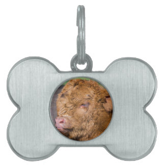 Portrait head newborn scottish highlander calf pet ID tag