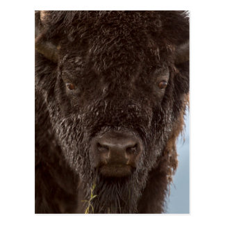 Portrait Of A Bison Bull In The Rain Postcard