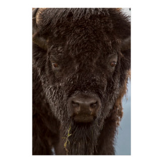 Portrait Of A Bison Bull In The Rain Poster