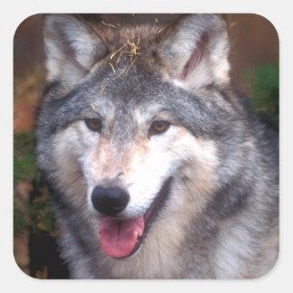 Portrait of a gray wolf square sticker