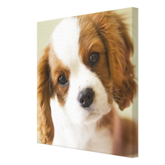 Portrait of a King Charles Spaniel puppy Gallery Wrapped Canvas