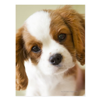 Portrait of a King Charles Spaniel puppy. Postcard