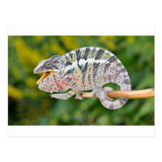 portrait of a male panther chameleon postcard