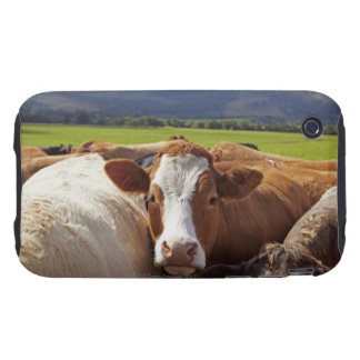 Portrait of a pair of cows in field in the tough iPhone 3 cover