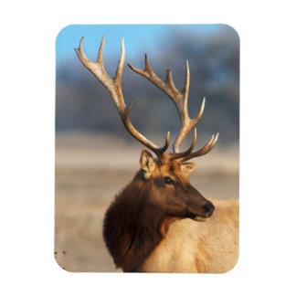 Portrait of a stunning bull elk magnet