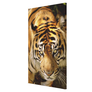 Portrait of a tiger stretched canvas print