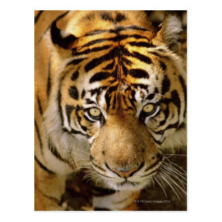 Portrait of a tiger postcard