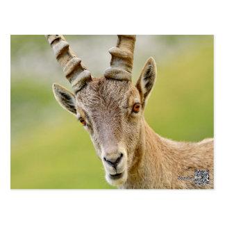 Portrait of an ibex postcard