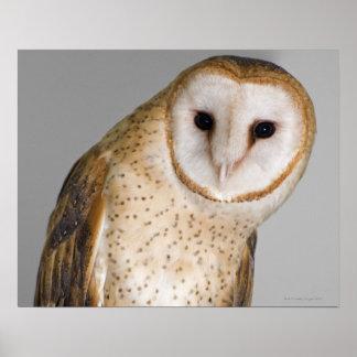 Portrait of barn owl (Tyto alba). Poster