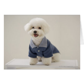 Portrait of Bichon Frise standing on table Greeting Card