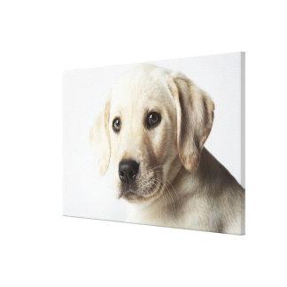 Portrait of blond Labrador Retriever Puppy Canvas Prints