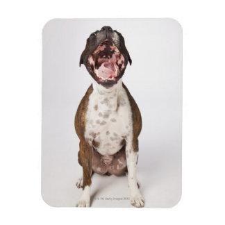 portrait of boxer dog yawning rectangular photo magnet