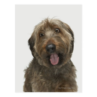 Portrait of Briard dog Postcard