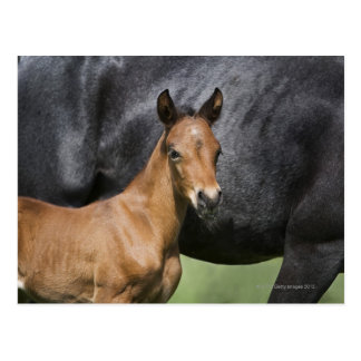portrait of brown foal postcard