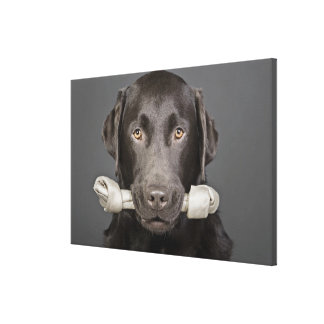 Portrait of chocolate labrador canvas prints