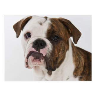 Portrait of cute bulldog pup postcard