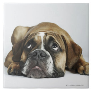 Portrait of Dorset Old Tyme Bulldog Ceramic Tile