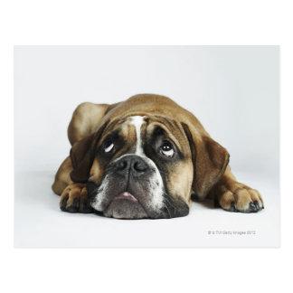 Portrait of Dorset Old Tyme Bulldog Postcard