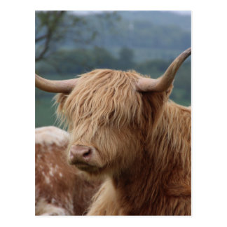 portrait of Highland Cattle Postcard