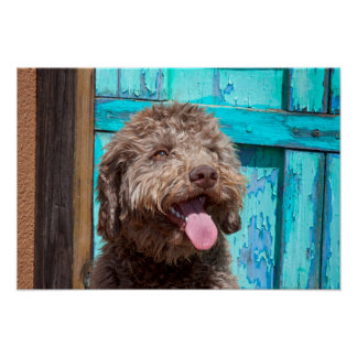 Portrait Of Lagotto Romagnolo In Front Of Blue Poster