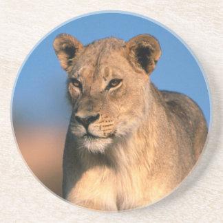 Portrait Of Lioness (Panthera Leo) Coasters