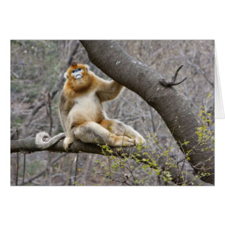 Portrait of male Golden monkey in tree Card
