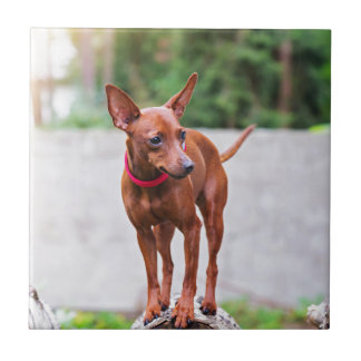 Portrait of red miniature pinscher dog ceramic tile